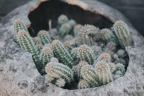 Darmowe zdjęcie z galerii z ciernie, garnek, jasny, kaktusy
