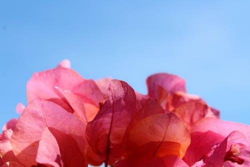 Immagine gratuita di delicato, fiori, fiori rosa, flora