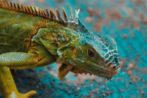 Green Bearded Dragon in Close-up Photo
