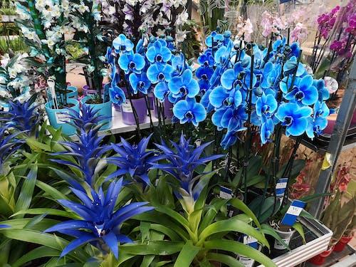 Gratis stockfoto met blauwe bloemen, blauwe orchidee, bloemen, orchidee