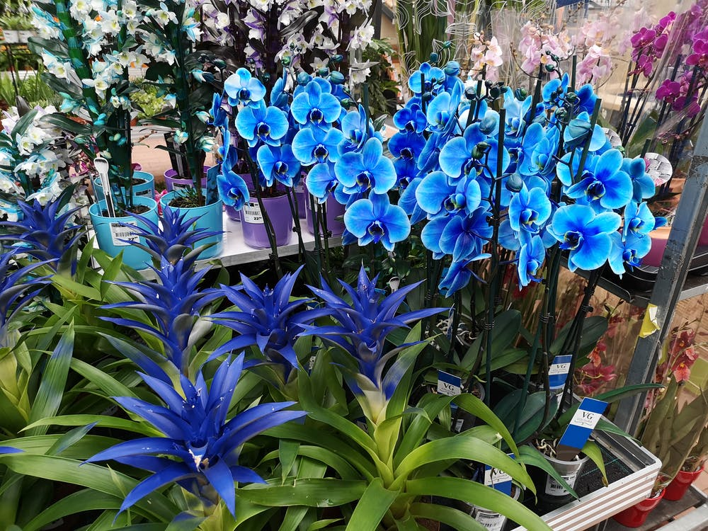 Free stock photo of blue flowers, blue orchid, flowers