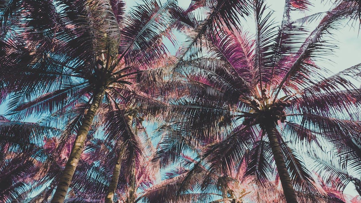 #palmiye ağaçları, ağaçlar, hindistancevizleri
