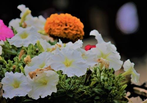 Foto d'estoc gratuïta de flors, flors blanques