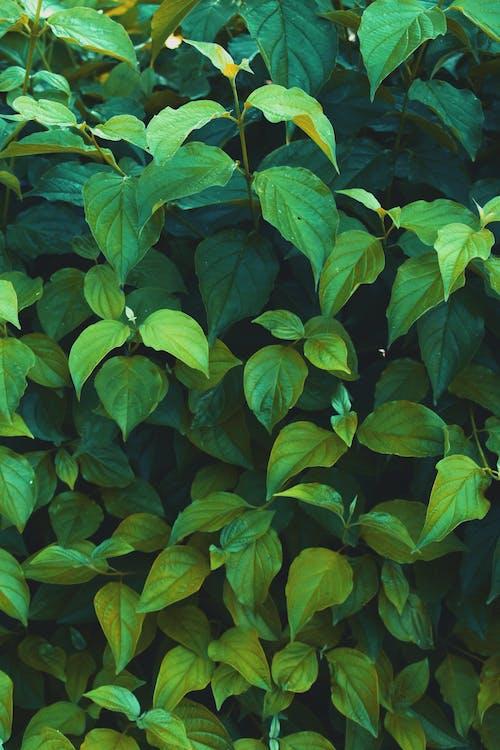 Kostnadsfri bild av anläggning, flora, gröna löv, löv