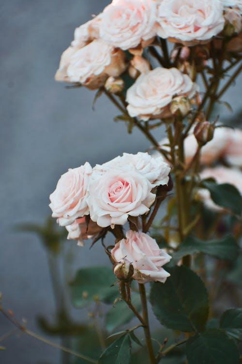 คลังภาพถ่ายฟรี ของ กลีบดอก, กำลังบาน, กุหลาบสวน, กุหลาบสีชมพู