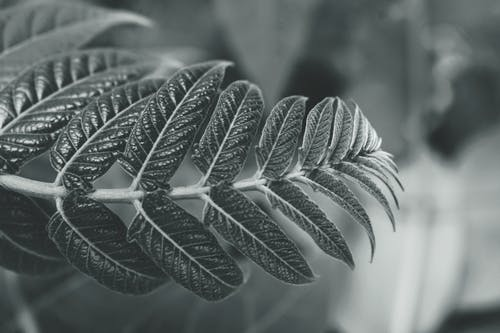 Monochrome Photography of Leaf