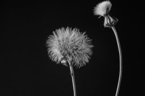 Grayscale Photography Of Dandelion Flowers