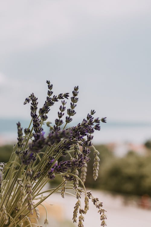 Безкоштовне стокове фото на тему «завод, квіти, лаванда, лаванда (квітка)»