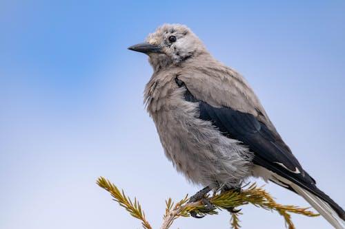 Бесплатное стоковое фото с птица, серая сойка, сойка