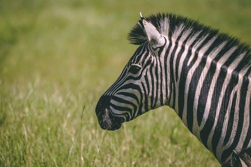 Foto stok gratis zebra