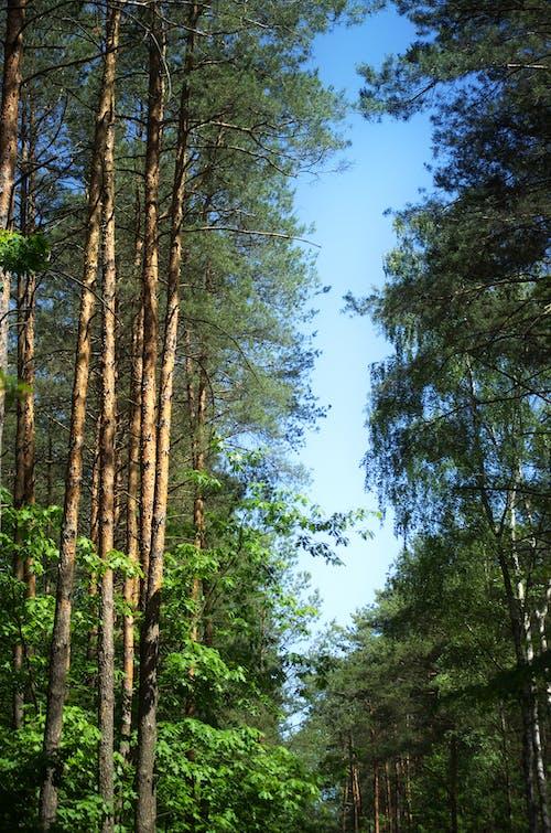 Fotobanka sbezplatnými fotkami na tému kmene stromov, krásny, les, modrá obloha