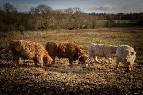 Photos gratuites de animal, animaux de ferme, bord de rivière, taureaux