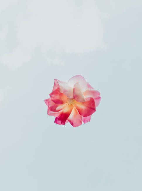 Pink and white flower with white background