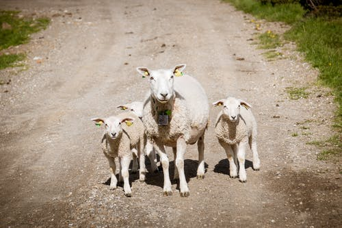 Four White Sheep on Dirt Road