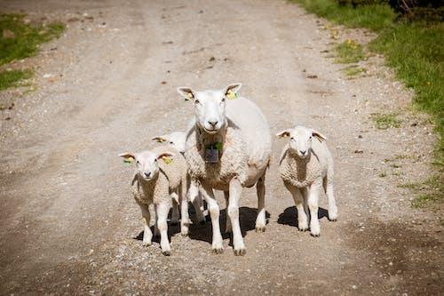 Immagine gratuita di agnelli, agriculture, animal, baby sheep