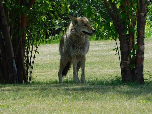 Základová fotografie zdarma na téma kojot