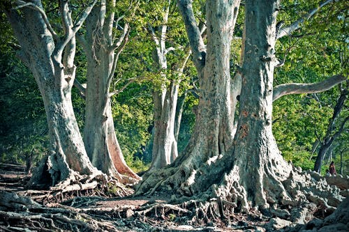 Trees With Roots Above Ground
