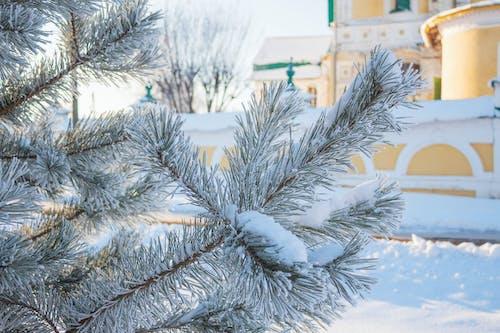 Gratis stockfoto met besneeuwd, den, koud weer, naald