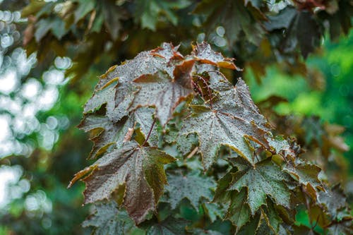 Безкоштовне стокове фото на тему «liście, боке, зелений, клен»