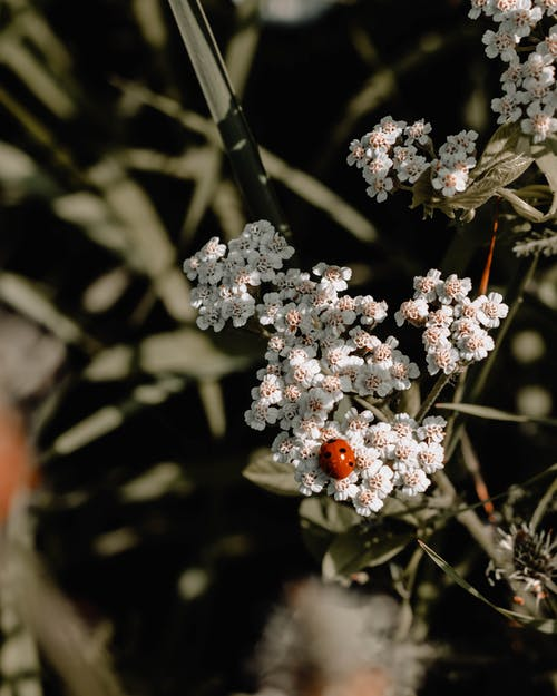 Close-Up Photo of White-petaled Flowers With Ladybug