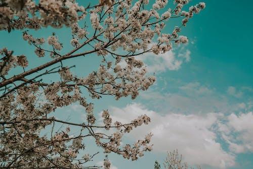 Foto profissional grátis de flor de cerejeira, naturee, natureza