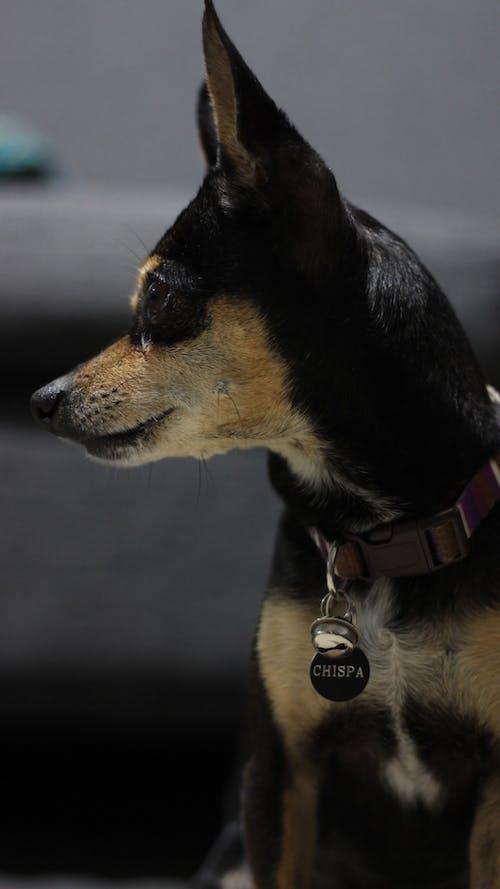Foto d'estoc gratuïta de collar de gos, gossos