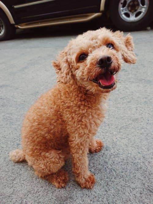 Fotos de stock gratuitas de caniche, feliz, mono, perro