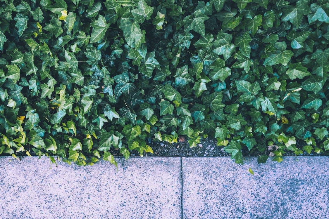 ботанический, вьющееся растение, зеленые листья