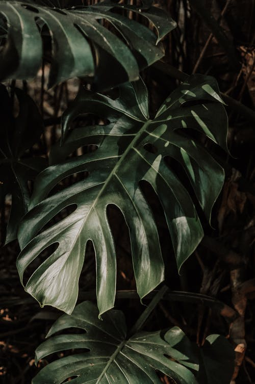 Close-Up Photo of Monstera Plant