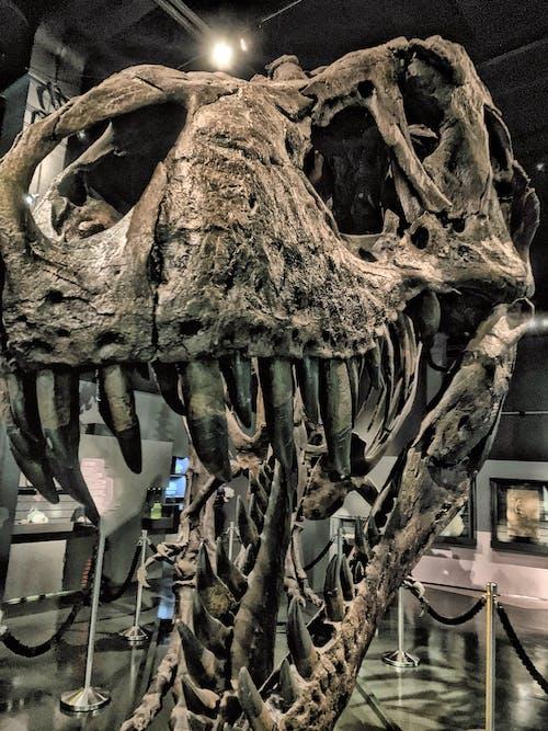 Foto d'estoc gratuïta de dinosaure, t-rex