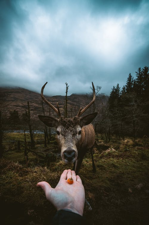 Person Offering Orange Fruit to a Deer during Day