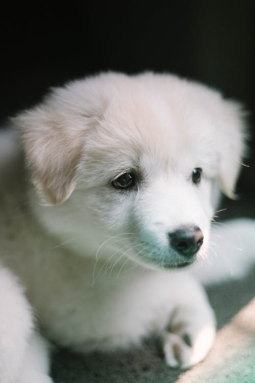 Close-up Photo of a Small Short-coated White Puppy