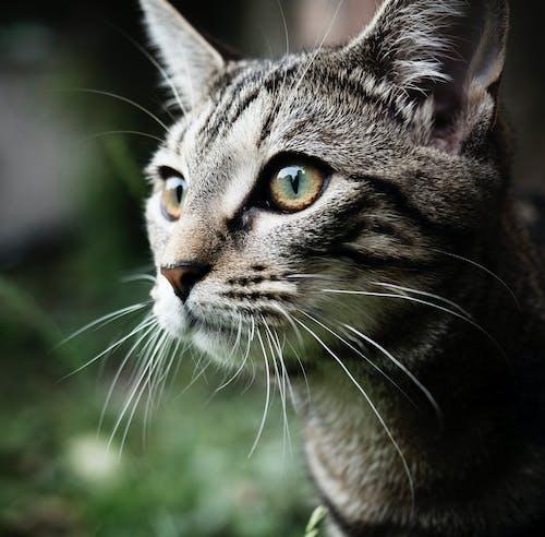 Δωρεάν στοκ φωτογραφιών με tabby cat, αιλουροειδές, αξιολάτρευτος, Γάτα