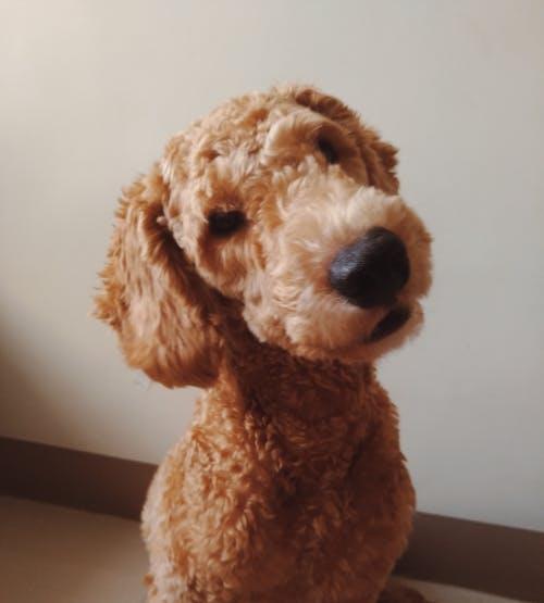 Foto stok gratis anjing lucu, anjing pudel, berpikir