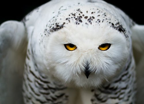 White Owl Close-up Photography