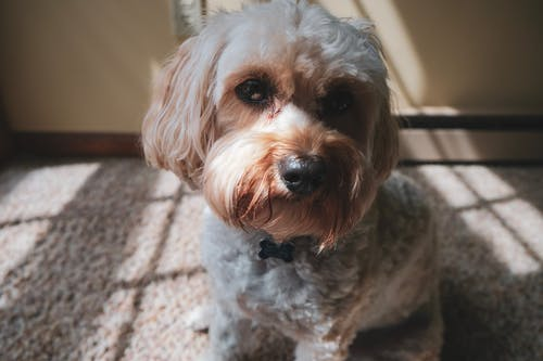 Close-up Photo of White and Brown Yorkshire Terrier Sitting on Carpet