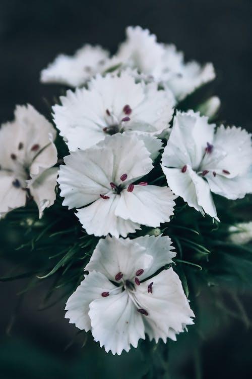 나뭇잎, 녹지, 카네이션, 하얀 꽃의 무료 스톡 사진