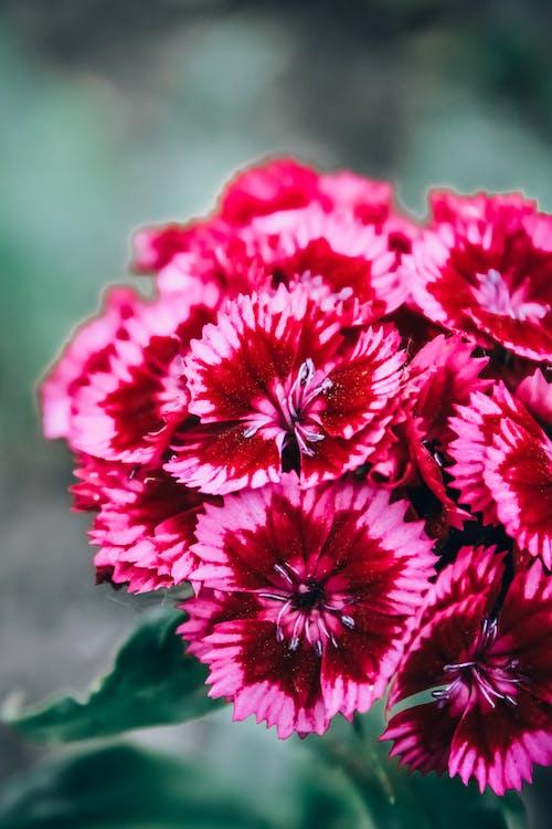 나뭇잎, 녹지, 분홍색 꽃, 카네이션의 무료 스톡 사진