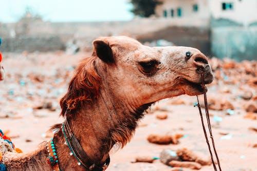 Gratis stockfoto met Arabische kameel, beest, bruin, close-up