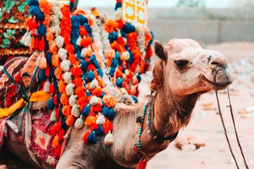 Kostenloses Stock Foto zu 4k wallpaper, arabische kamele, bunt, draußen