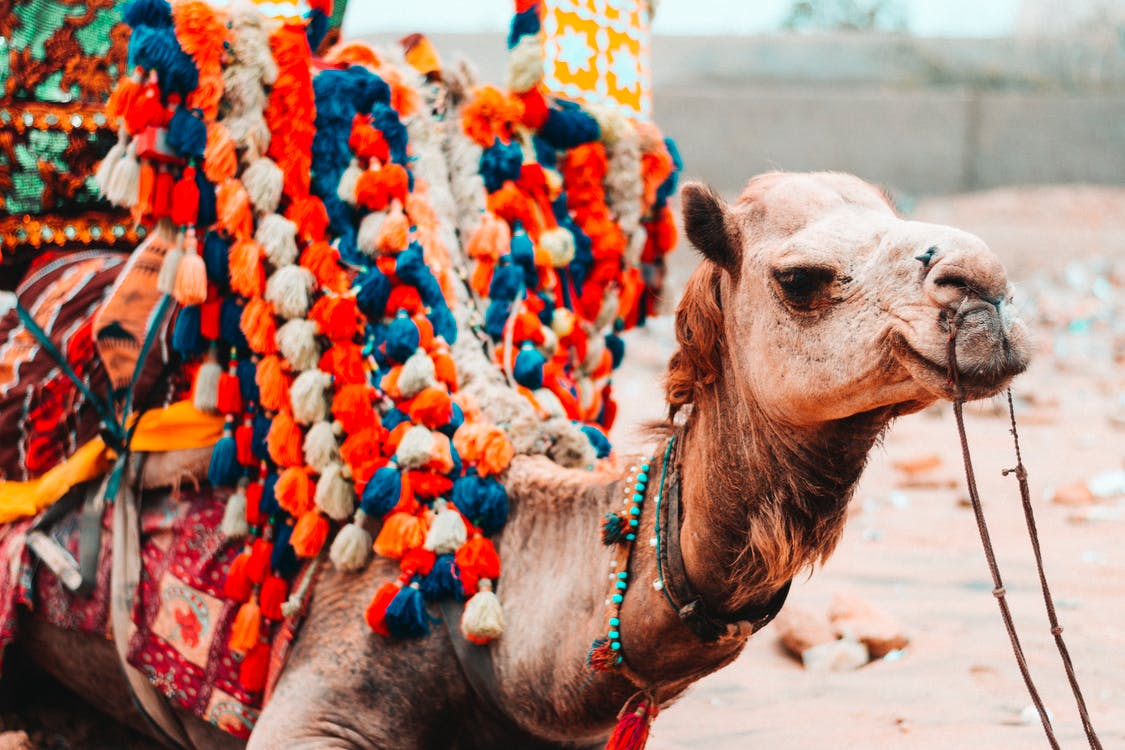 Camel With Multicolored Saddle