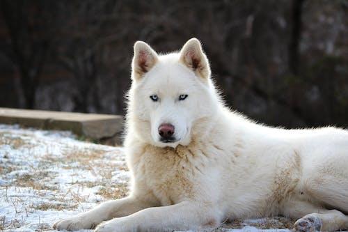 Ảnh lưu trữ miễn phí về chó, cho husky Si-bê-ri-a, chụp ảnh động vật, con vật