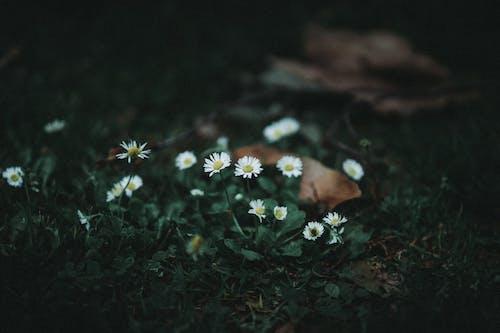 Безкоштовне стокове фото на тему «білі квіти, глибина різкості, делікатний, земля»
