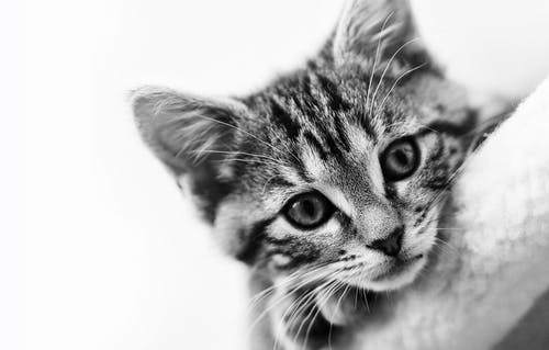 Monochrome Photo of Tabby Cat