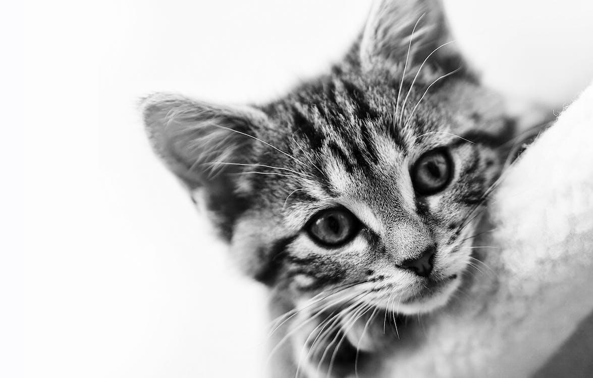 Gratis arkivbilde med dyr, dyrefotografering, gråskala