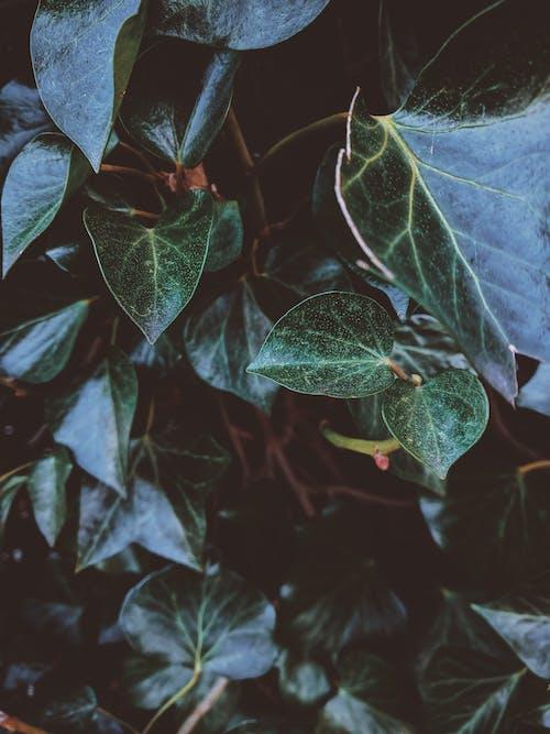 Photos gratuites de feuilles, feuilles vertes, gros plan, haie
