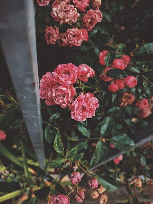 Základová fotografie zdarma na téma barva, flóra, floribunda, fotka zvysokého úhlu