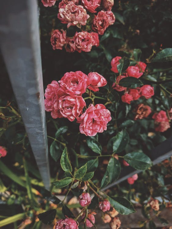 amour, arbuste, arôme