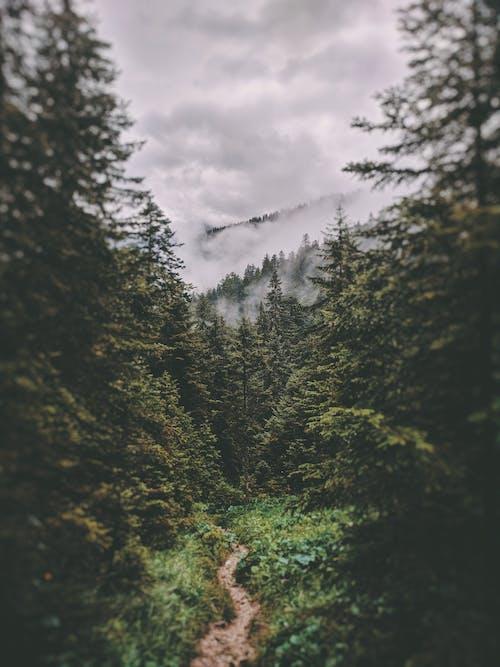 Бесплатное стоковое фото с вечнозеленый, высокие деревья, германия, грунтовая дорога