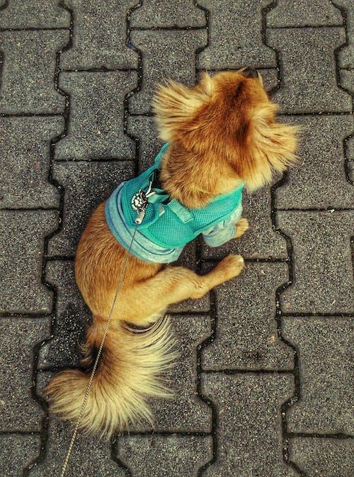 Darmowe zdjęcie z galerii z pies, pies pokojowy, zwierzę domowe